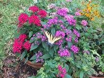 在花3的Swallowtail 免版税库存照片
