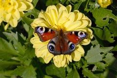 在花黄色大丽花的孔雀 免版税库存图片