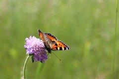 在花蝴蝶坐korostovychi 免版税库存图片