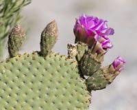 在花- Anza Borrego状态同水准的Beavertail Pricklypear仙人掌 免版税库存图片