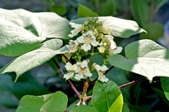 在花- Catalpa speciosa的北Catalpa树 图库摄影