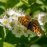 在花Brenthis Physocarpus的蝴蝶 免版税库存图片