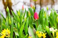 在芽中的充满活力的五颜六色的特写镜头首先开花的桃红色红色郁金香 图库摄影