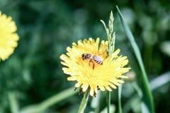 在芽的一只蜂 野花 照片 免版税库存照片
