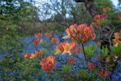 在芽的橙色日本杜娟花在Eastcote议院庭院的被围住的庭院之外有后边蓝色响铃和蓝色勿忘草的 库存照片