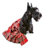 在苏格兰男用短裙的狗 免版税库存照片