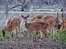 在苏达班,孟加拉国的被察觉的鹿群 免版税库存图片