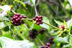 在苏门答腊山的狂放的咖啡  免版税库存照片
