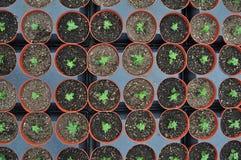 在苗圃植物里面的温室 库存图片