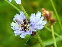 在苦苣生茯花的大黄蜂 库存照片