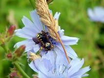 在苦苣生茯花的大黄蜂 免版税库存照片