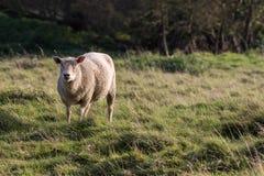 在英国乡下领域的母羊 孤零零国内自由放养的f 库存照片