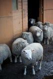 在英国农场的绵羊 免版税库存照片