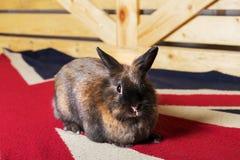 在英国地毯的兔子 库存图片