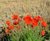 在英国干草的野生红色鸦片调遣 免版税库存图片