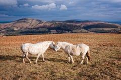 在英国荒野的威尔士小马 免版税库存图片