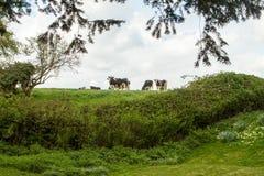 在英国绿色领域的黑白花的母牛 免版税库存照片