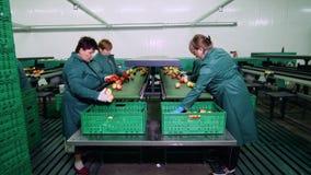 在苹果加工厂,手套的工作者排序苹果 排序由大小和颜色的成熟苹果,然后包装 影视素材