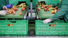 在苹果加工厂,手套的工作者排序苹果 排序由大小和颜色的成熟苹果,然后包装 股票视频