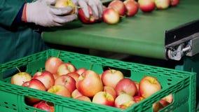 在苹果加工厂,手套的工作者排序苹果 排序由大小和颜色的成熟苹果,然后包装 股票录像