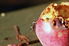 在苹果吃一边的一个黄蜂 库存照片