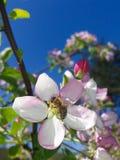 在苹果开花树的蜂 免版税库存照片