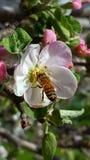 在苹果开花的蜂蜜蜂 库存图片
