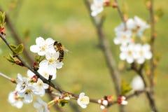 在苹果开花的蜂蜜蜂 免版税图库摄影