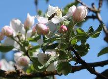 在苹果开花的蜂 库存图片