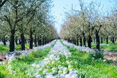 在苹果树之间行的花  免版税库存图片