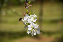 在苹果树白花的蜂 免版税图库摄影