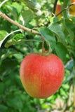 在苹果树的一个大红色成熟苹果,红色a新收获  免版税库存图片