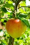 在苹果树的一个大红色成熟苹果,红色a新收获  免版税图库摄影