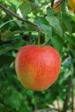 在苹果树的一个大红色成熟苹果,红色a新收获  免版税库存照片