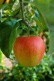 在苹果树的一个大红色成熟苹果,红色a新收获  库存照片