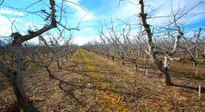 在苹果树的冬天 免版税图库摄影