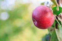 在苹果树的分支的红色苹果 库存照片
