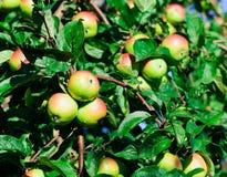 在苹果树的分支的红色苹果 免版税图库摄影