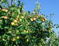 在苹果树的分支的红色苹果 免版税库存照片