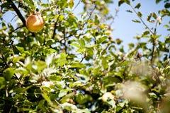 在苹果树的前个苹果 免版税库存图片