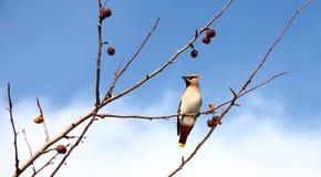 在苹果树的太平鸟 库存图片