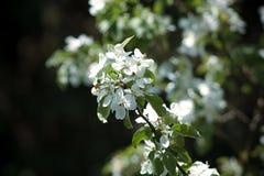 在苹果树的开花的花 库存照片