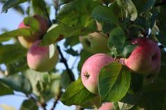在苹果树的成熟苹果 免版税图库摄影