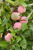在苹果树的成熟苹果 免版税库存图片