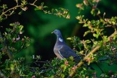 在苹果树的斑尾林鸽 图库摄影