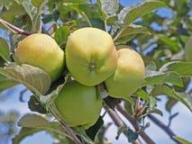 在苹果树的新鲜的苹果 库存图片