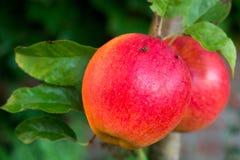 在苹果树的红色成熟水多的苹果,新的收获 免版税库存照片