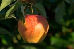 在苹果树的红色成熟水多的苹果,新的收获 库存图片