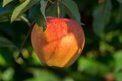 在苹果树的红色成熟水多的苹果,新的收获 图库摄影