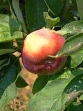 在苹果树的红色苹果 免版税库存图片